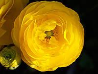 Лютик (ранункулюс) азиатский жёлтый 100 клубней/уп.