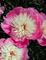 Пион Bowl of Beauty (Баул оф бьюти) корневище оптом