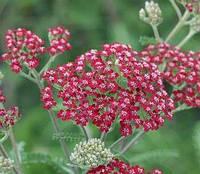 Тысячелистник Millefolium Cassis
