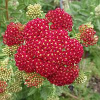Тысячелистник Millefolium Red Velvet корневище оптом
