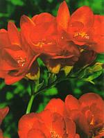 Фрезия махровая Red (Красная) 50 луковиц/уп.