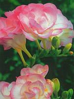 Фрезия махровая Rose (Розовая) 50 луковиц/уп.