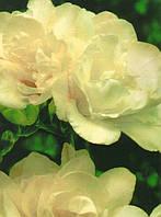 Фрезия махровая White (Белая) 50 луковиц/уп.