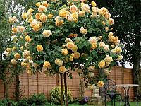 Роза на штамбе ТОМАС ГРЕКХАМ 2-хгодичный саженец