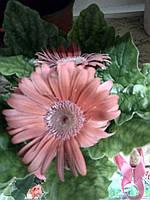 Горшечное растение Гербера бледно-розовая
