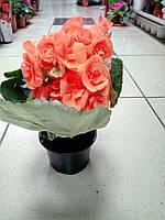 Горшечное растение Бегония дикоративноцветущая