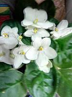 Горшечное растение Фиалка  3