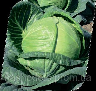 Семена капусты б/к Тобия F1 2500 семян Seminis
