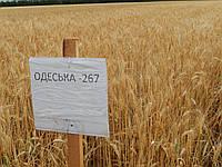 Семена пшеница озимая Одесская 267 Р1 Одесский селекционно-генетический институт