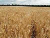 Семена пшеница озимая Паляница P1