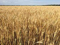 Семена пшеница озимая Златоглава P1 Луганский институт селекции и технологии ЛИСТ