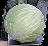 Семена капусты б/к Галакси F1 2500 семян Seminis