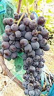 Саженцы  винограда  универсального  Мускат  беседочный