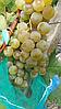 Саженцы  универсального  винограда  Дружба