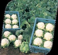 Семена цветной капусты Винсон F1 1000 семян Seminis