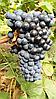 Саженцы  техн. винограда  сорта  Рубин  Голодриги