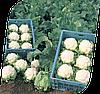 Семена цветной капусты Винсон F1 2500 семян Seminis