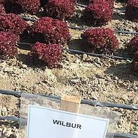 Семена салата Вилбур. 5000 сем.Рийк цваан.