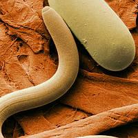Определение цистообразующих и галловых нематод в почве
