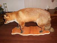 Чучело лисы в полный рост, фото 1