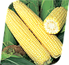 Семена кукурузы сахарной Сигнет F1 5000 семян Seminis