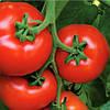 Семена томата Аламина F1 1000 сем. Рийк цваан.