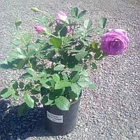 """Троянда """" Віолет Парфум """" С4 25/30"""