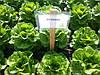 Семена салата Октавиус. 1000 сем.Рийк цваан.
