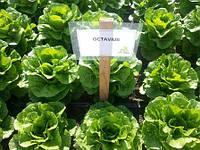 Семена салата Октавиус. 5000 сем.Рийк цваан.