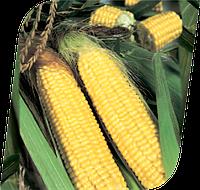 Семена кукурузы сахарной Трофи F1 5000 семян Seminis