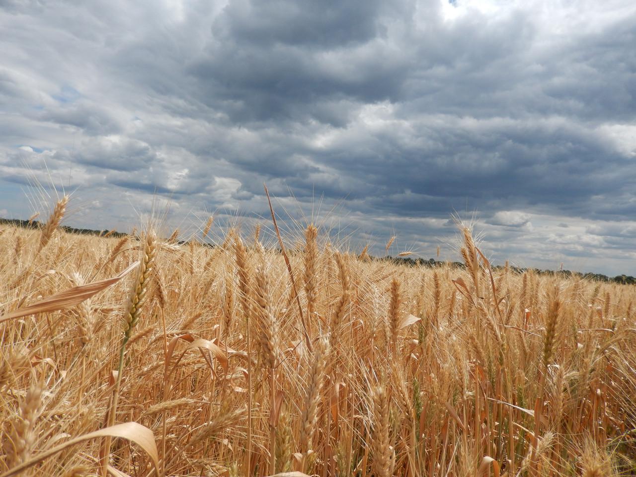 Семена пшеница озимая Бунчук P1