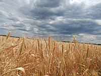 Насіння пшениця озима Бунчук P1