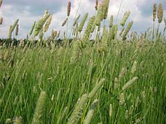 Трава Тимофеевка 1кг