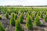 """Туя западная """"Смарагд""""  от производителя (Thuja occidentalis Smaragd) 0,7 - высота."""