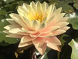 Нимфея «Блашинг Брайд» (Nymphaea «Blushing Bride»), фото 2