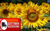 Семена подсолнечника Матадор под гранстар