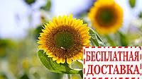 Насіння соняшника Ауріс