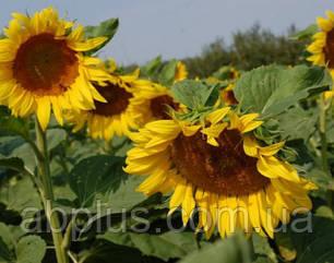 Семена подсолнечника Антей (под Гранстар) Премиум