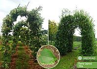 Арка (дерево - липа), 2,5-3,0 метра