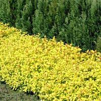 Спирея японская Golden Carpet (Золотой ковер) 2год