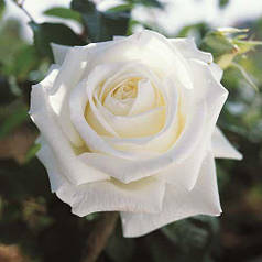 Саженцы роз Чайно-гибридная белая 01 Польша