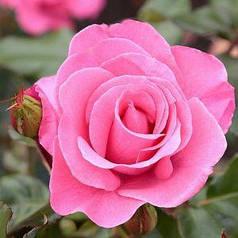 Саженцы роз Чайно-гибридная розовая 1шт
