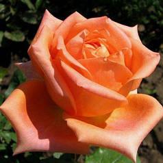 Саженцы роз Чайно-гибридная оранжевая 1шт