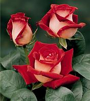 Саженцы роз Чайно-гибридная красная 1шт