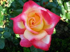 Саженцы роз Чайно-гибридная красная с белым 37 Польша