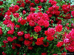 Саженцы роз Английская красная 18 Польша