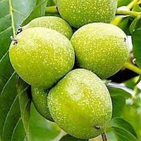 Грецкий орех Топоривский (привитый)