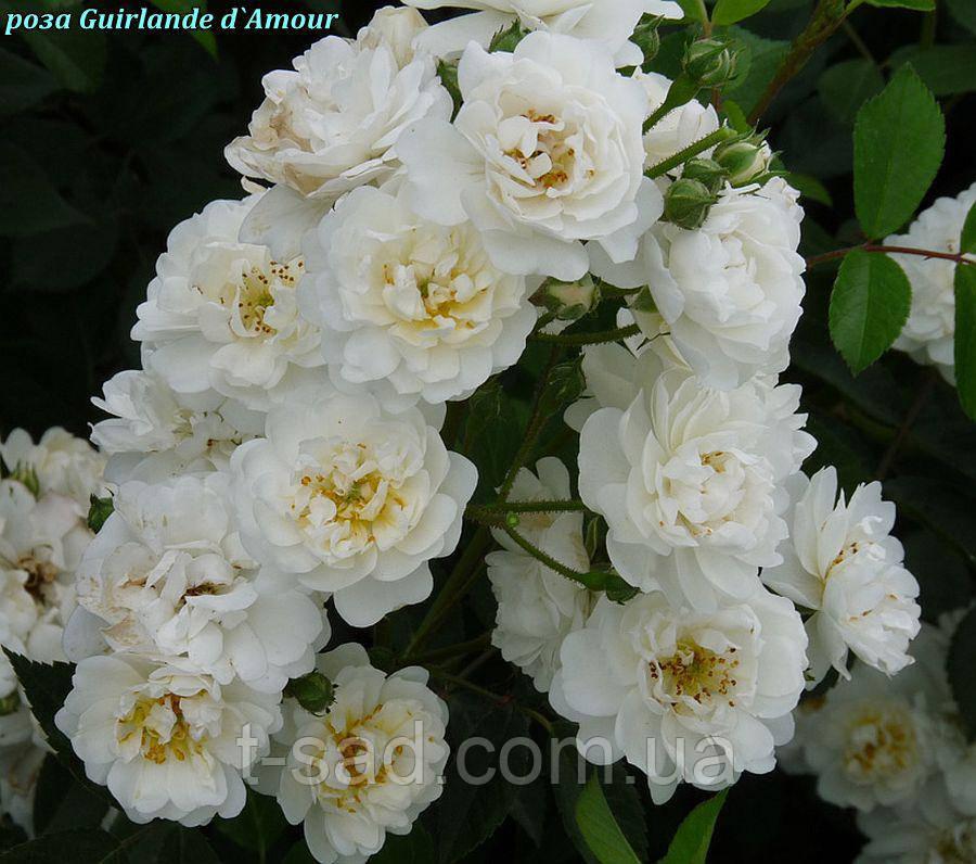 Роза Guirlande d`Amour, корень ОКС