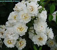 Роза Guirlande d`Amour, корень ОКС, фото 1
