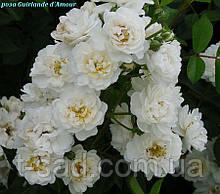 Роза Guirlande d'amour, корінь ОКС